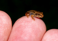 Froglet on finger