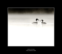 Grebes in the mist