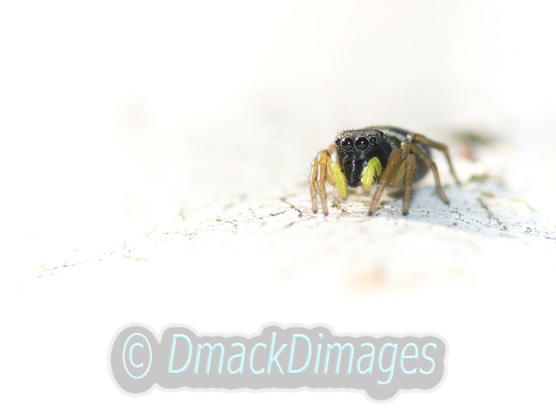"""""""Yellow-footed"""" jumping spider"""