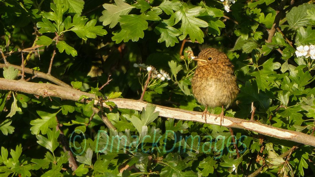 Fledgling robin in hawthorn