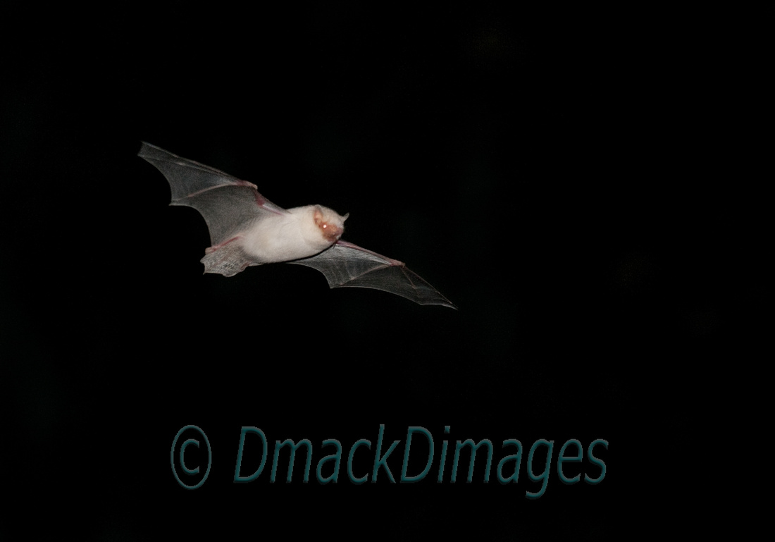 Heavily leucistic bat