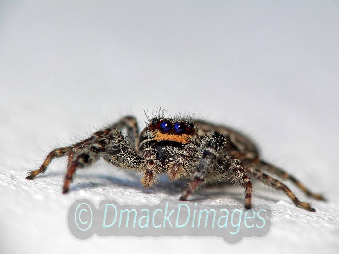 Female fencepost-jumping spider