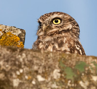 Wild little owl (on favourite winter perch)