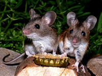 Woodmice on peanut butter (2)