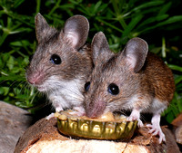 Woodmice on peanut butter (3)