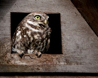 Female little owl