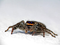 Female fencepost-jumping spider