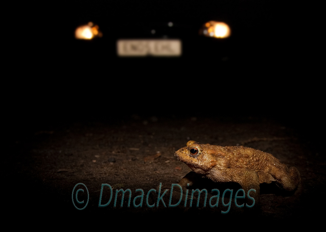 Toad crossing