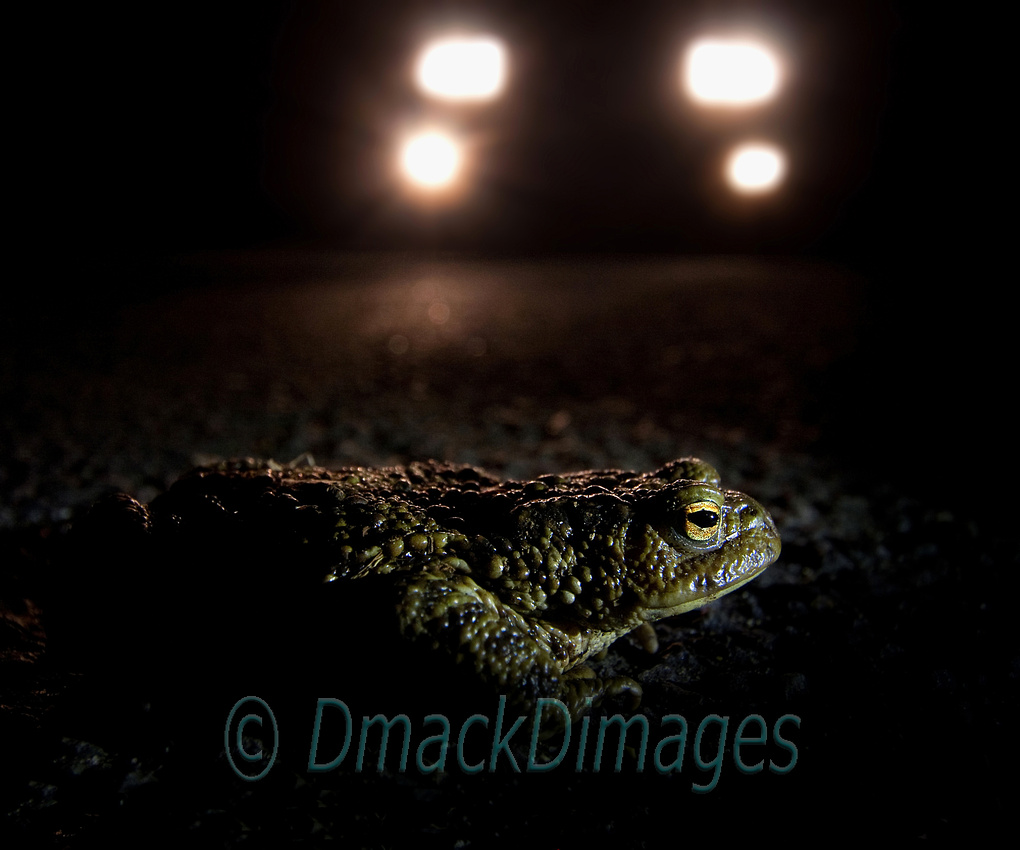 Toad crossing (2)