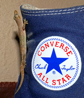 All Star gecko